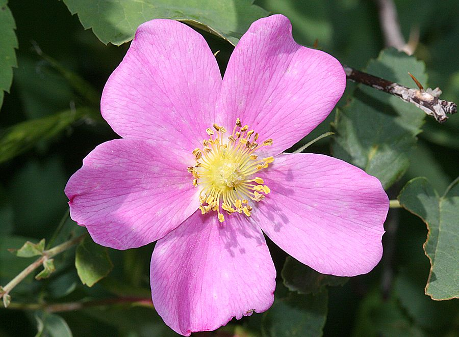 Wild utah photos of five petaled pink flower wild rose rosa wild utah photos of five petaled pink flower wild rose rosa mightylinksfo