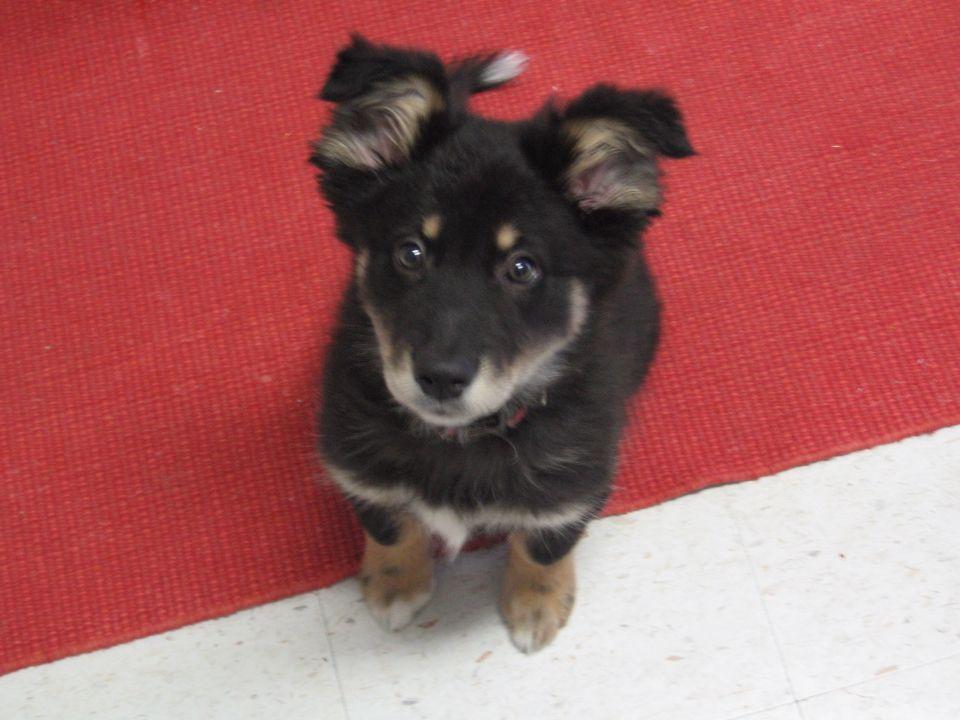 Dingo-border collie puppy named Riley
