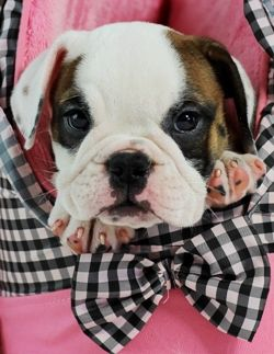 Esther The English Bulldog Bring Her Home Today