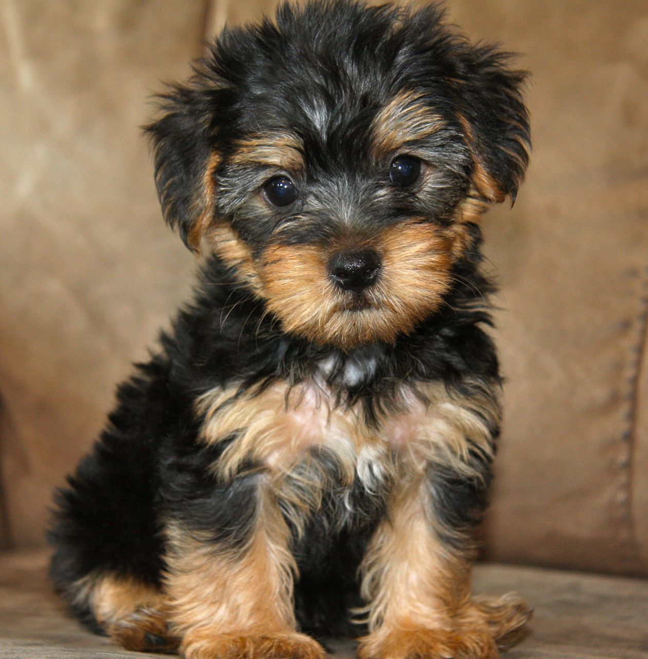 A Yorkipoo (aka yorkapoo or yoodle) is a mutt or mixed