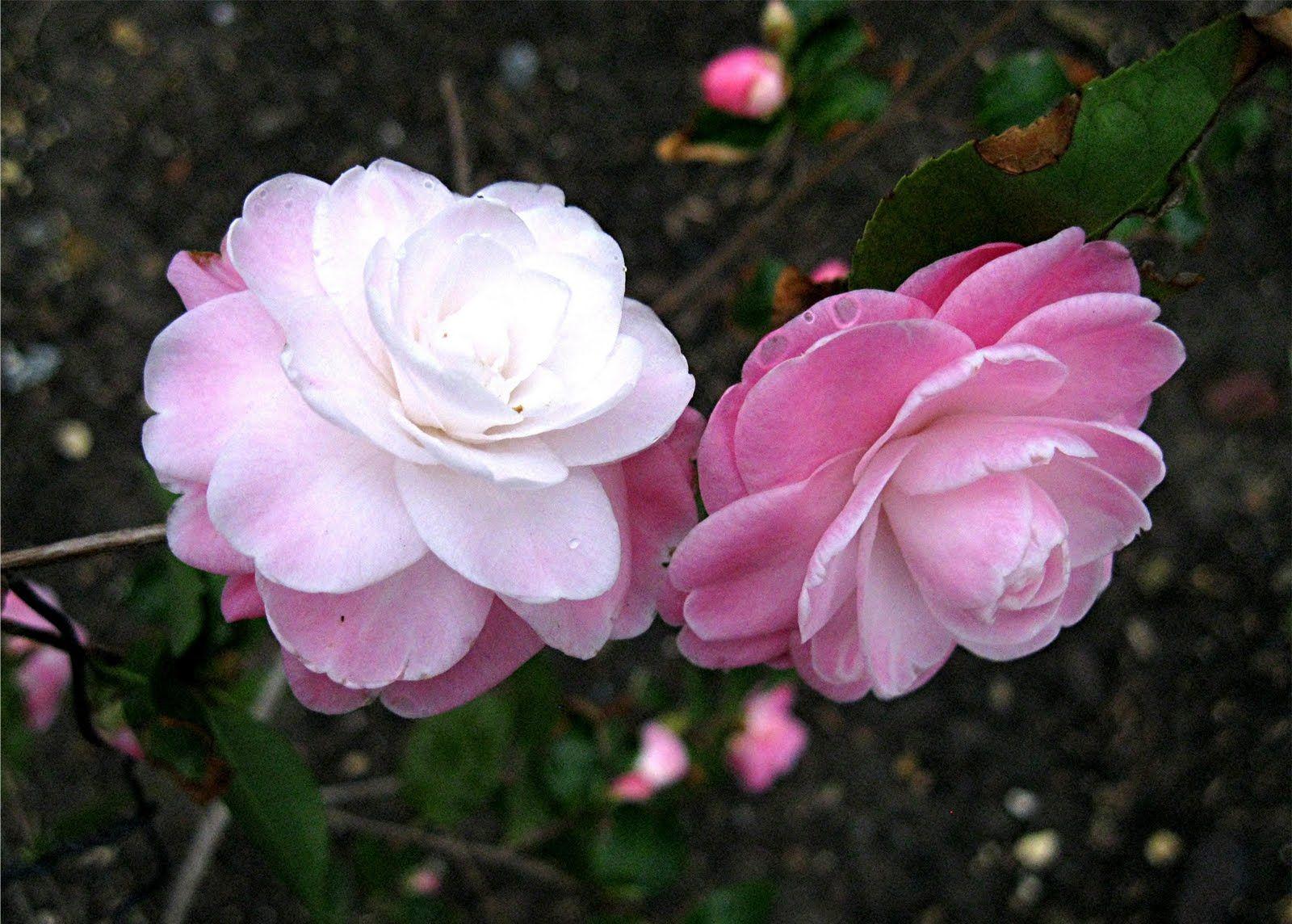 Camellia Sweet Jane Camellia Flowers Black Magic