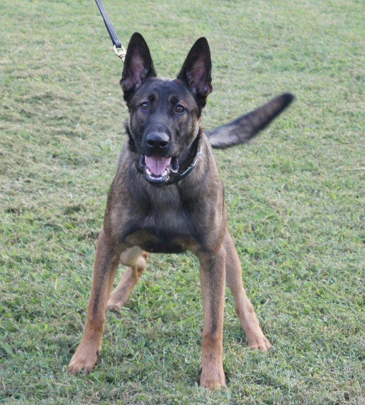 Belgian Malinois Mixed With German Shepherd Breeder Website