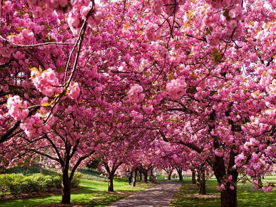 Love The Hot Pink Japanese Cherry Tree Hanami Peach Trees