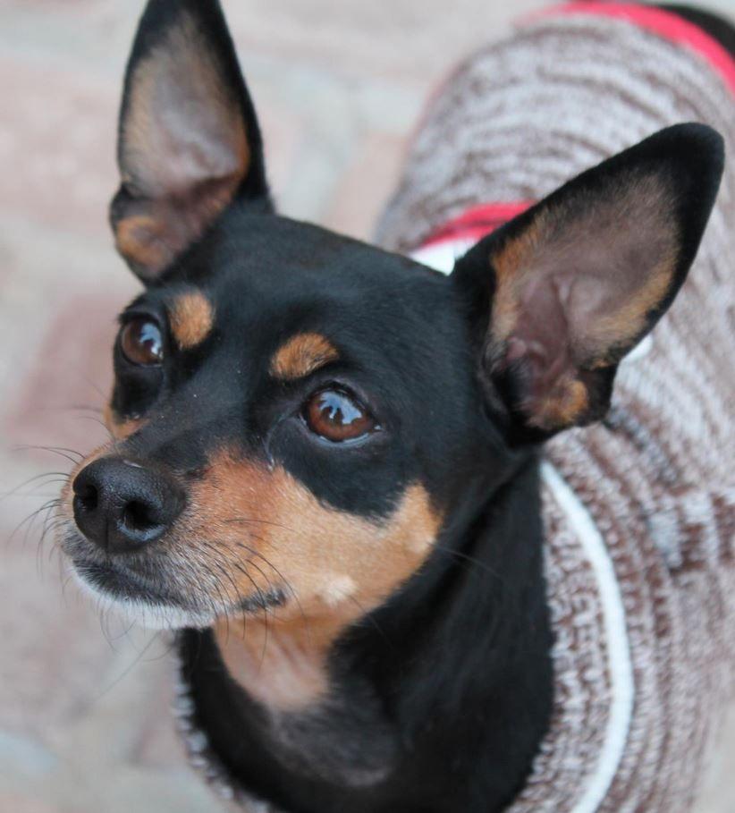 Miniature Pinscher Mini pinscher, Chihuahua mix puppies