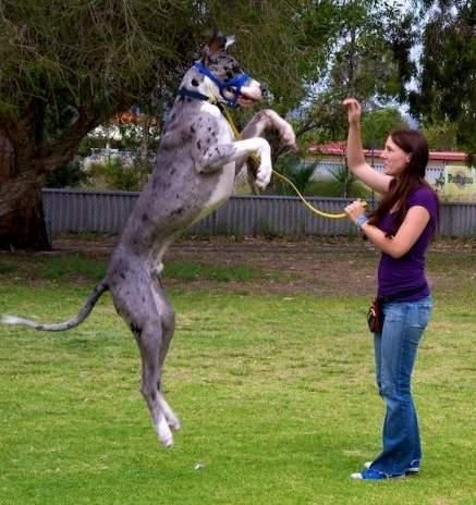 How To Understand The Great Dane