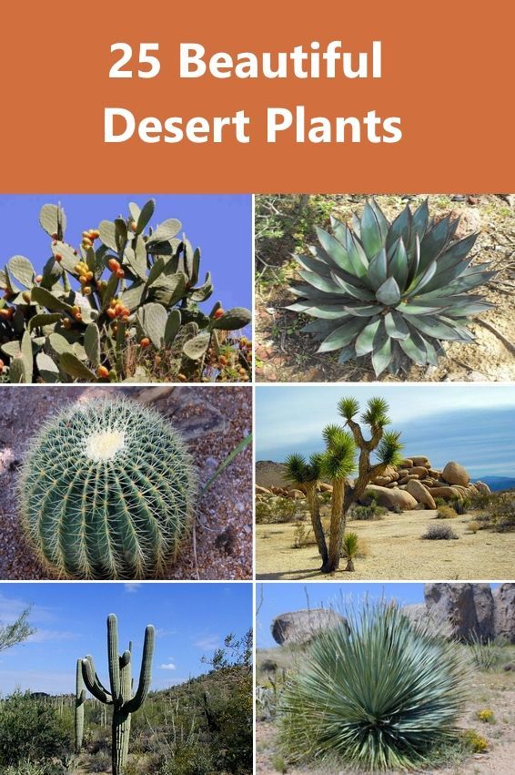 Discover some of the most common plants that grow in the desert. #DesertPlants #DroughtTolerantPlants #HardyPlants #Succulents #Cacti #DesertCactus #DesertTrees ##DesertShrubs #AridPlants #Yucca #Agave AleVera #Gardens #Landscaping #LowMaintenancePlants #TypesOFDesertPlants
