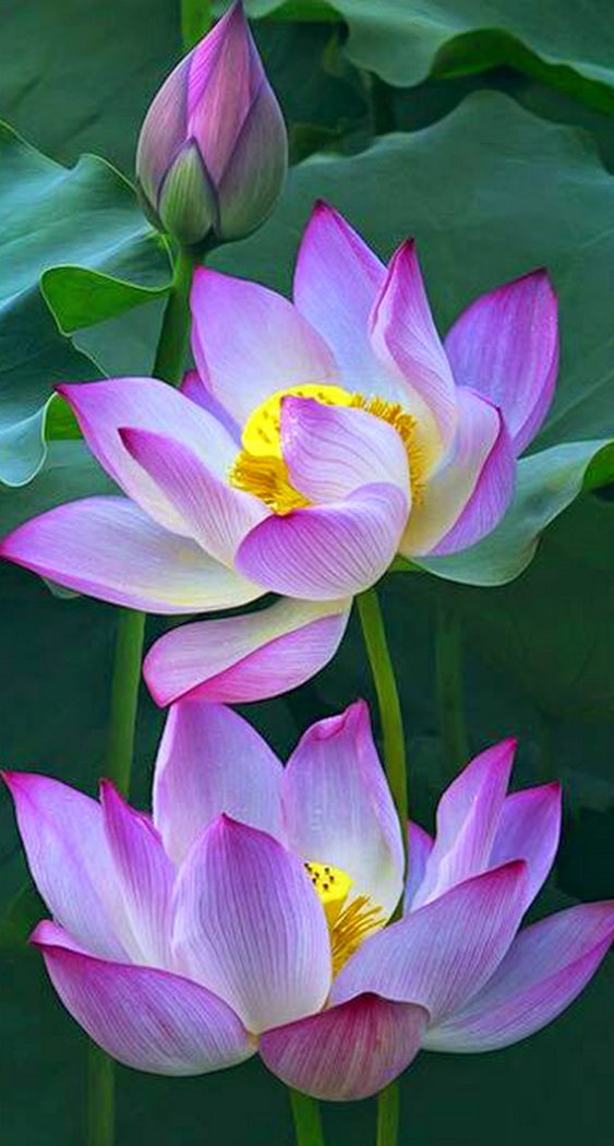Pin by H    n B    ng V     on Lotus   Pinterest   Flowers  Lotus and Flower Foto