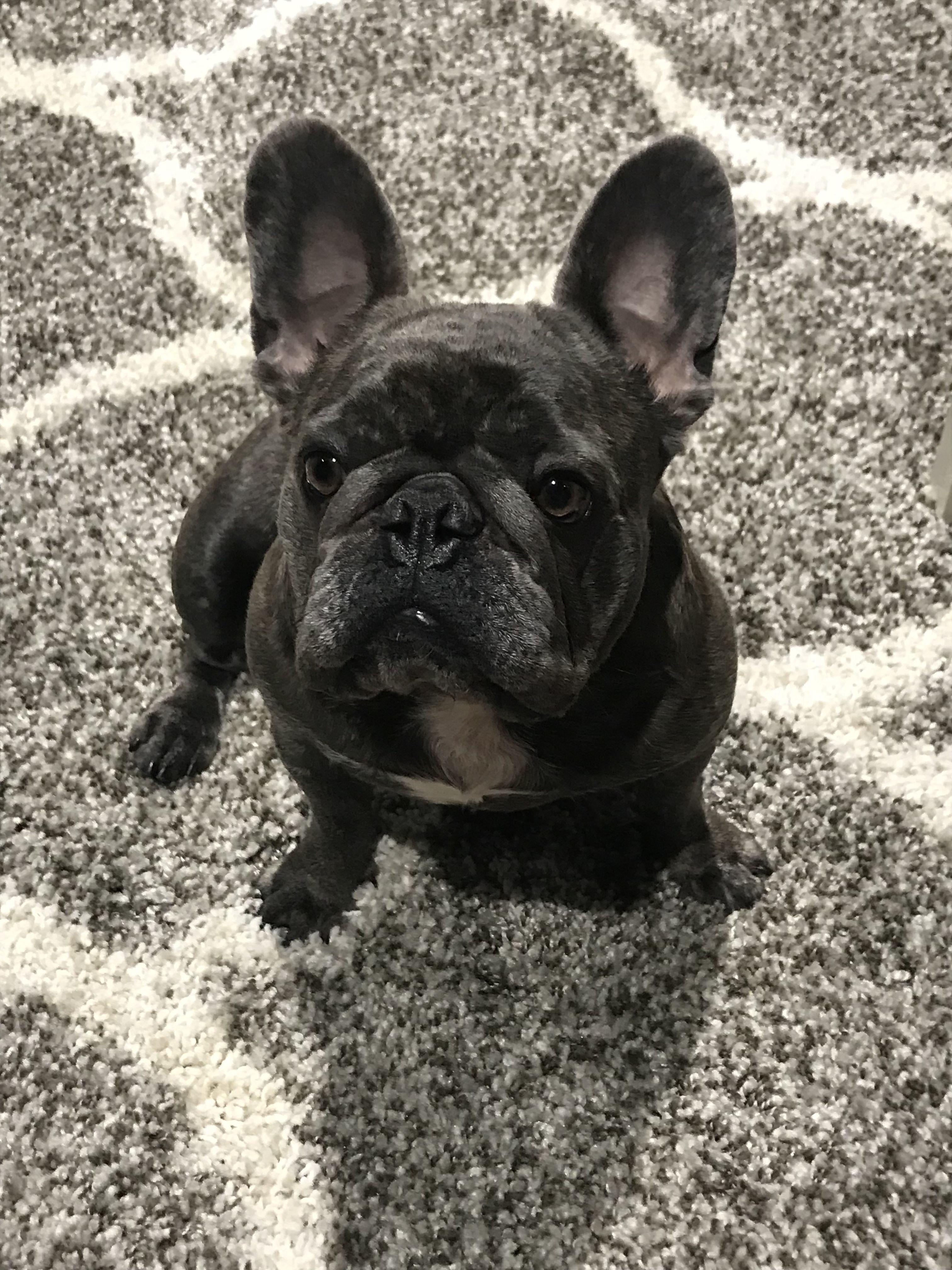 Pin By Superior English Bulldogs On French Bulldog Cute Animals