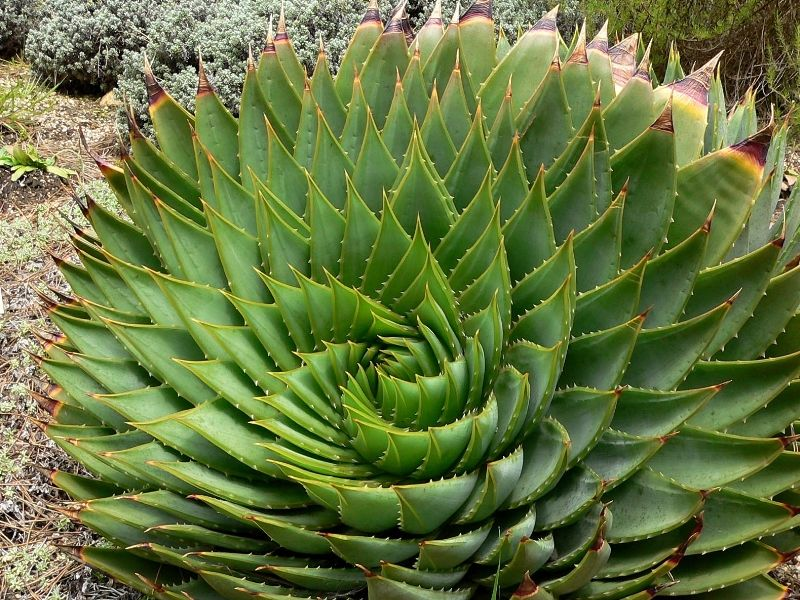 Aloe Polyphylla Une Plante Rare En Forme De Spirale Plante