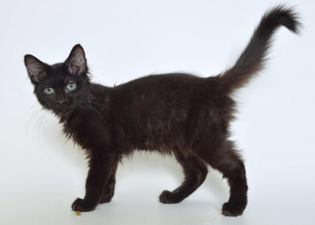 Adopt Scorpio On With Images Kittens Adoption Cats