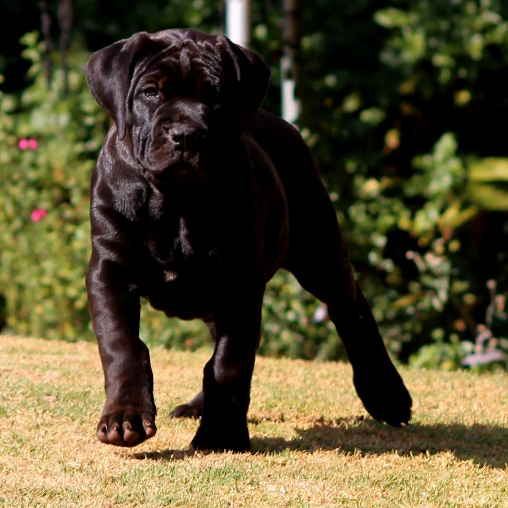 Black Boerboel Puppies Critters Pinterest Dog and Black