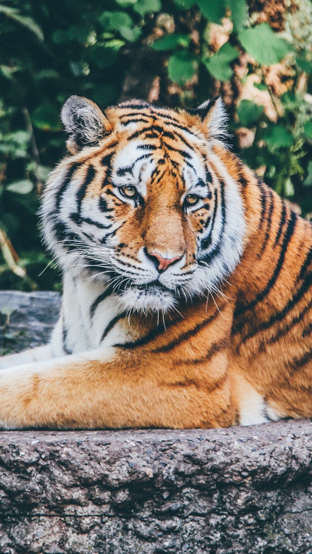 Tiger Wallpapers 1080p Hupages Download Iphone Wallpapers Tiger Wallpaper Animal Wallpaper Tiger Wallpaper Iphone