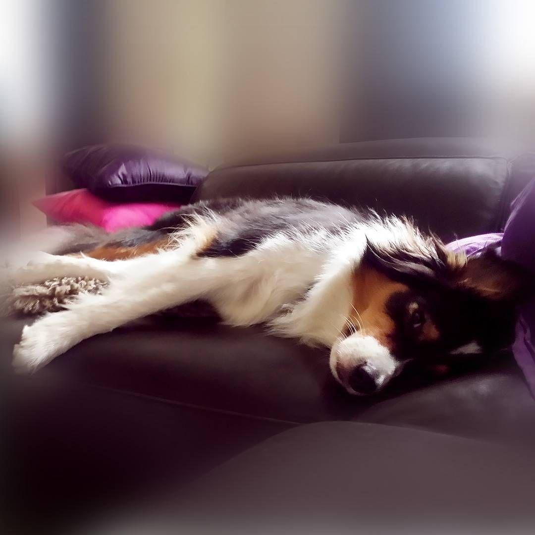 Schlafende Hunde Zeit Zum Entspannen Nach Einem Ach So Anstrengenden Tag Gute Nacht Freunde Crazygin Hunde Schlafen Australian Shepherd Hund Hundefotos