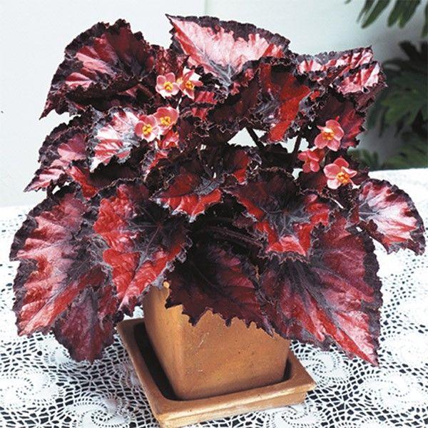 Begonia Harmony S Red Robin Begonia Rex Hybrid At Logee S