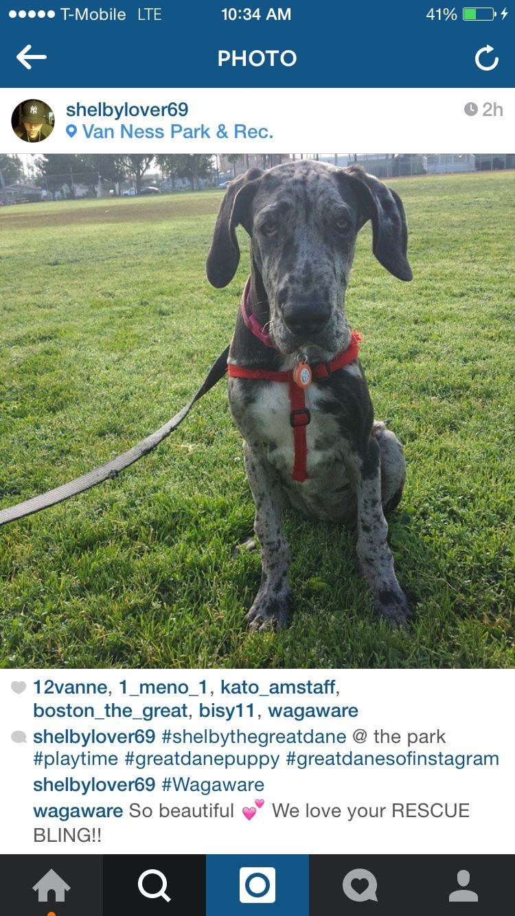 Wagaware Ambassador Shelby Great Dane Puppy Sporting Dogs Dog