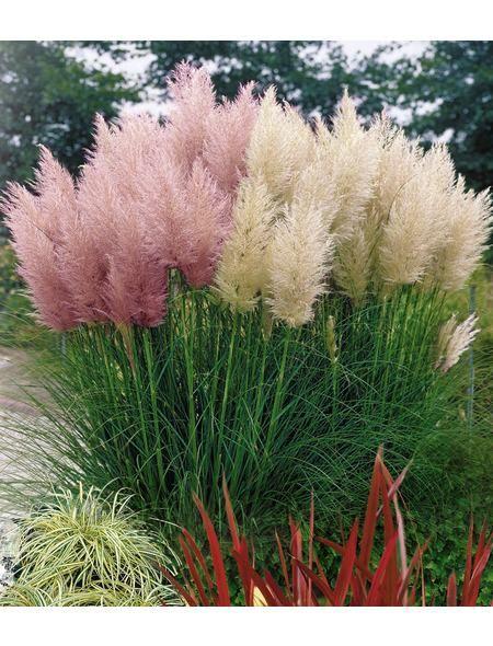 pampas grass pink garten garten garten pflanzen und