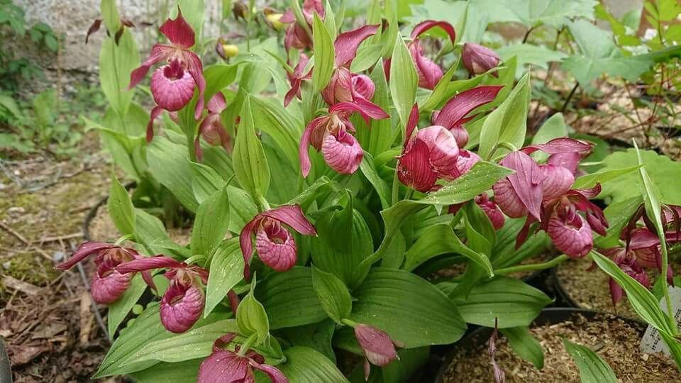 Cypripedium Ventricosum Une orchidée de jardin très rustique ...