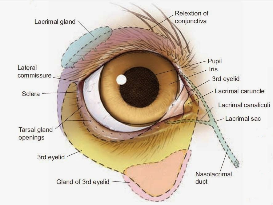 lacrimal caruncle - Google 검색 | forensic anatomy references-face ...