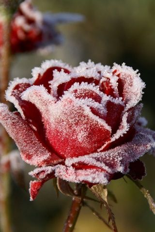 snow covered rose.
