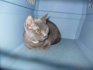Meet Peeps A Petfinder Adoptable Russian Blue Cat Woodbridge Nj 1 Year 5 Months Cat Adoption Russian Blue Pets