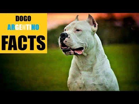nowy design Gdzie mogę kupić przystępna cena Dogo Argentino PROTECTOR of PUMA   FACTS   https ...