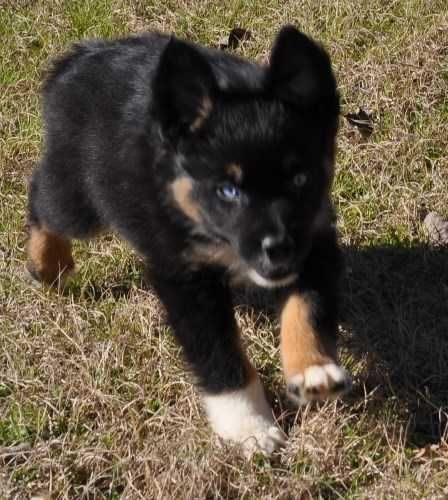 These Are Registered Akc Australian Shepherd Puppies For Sale