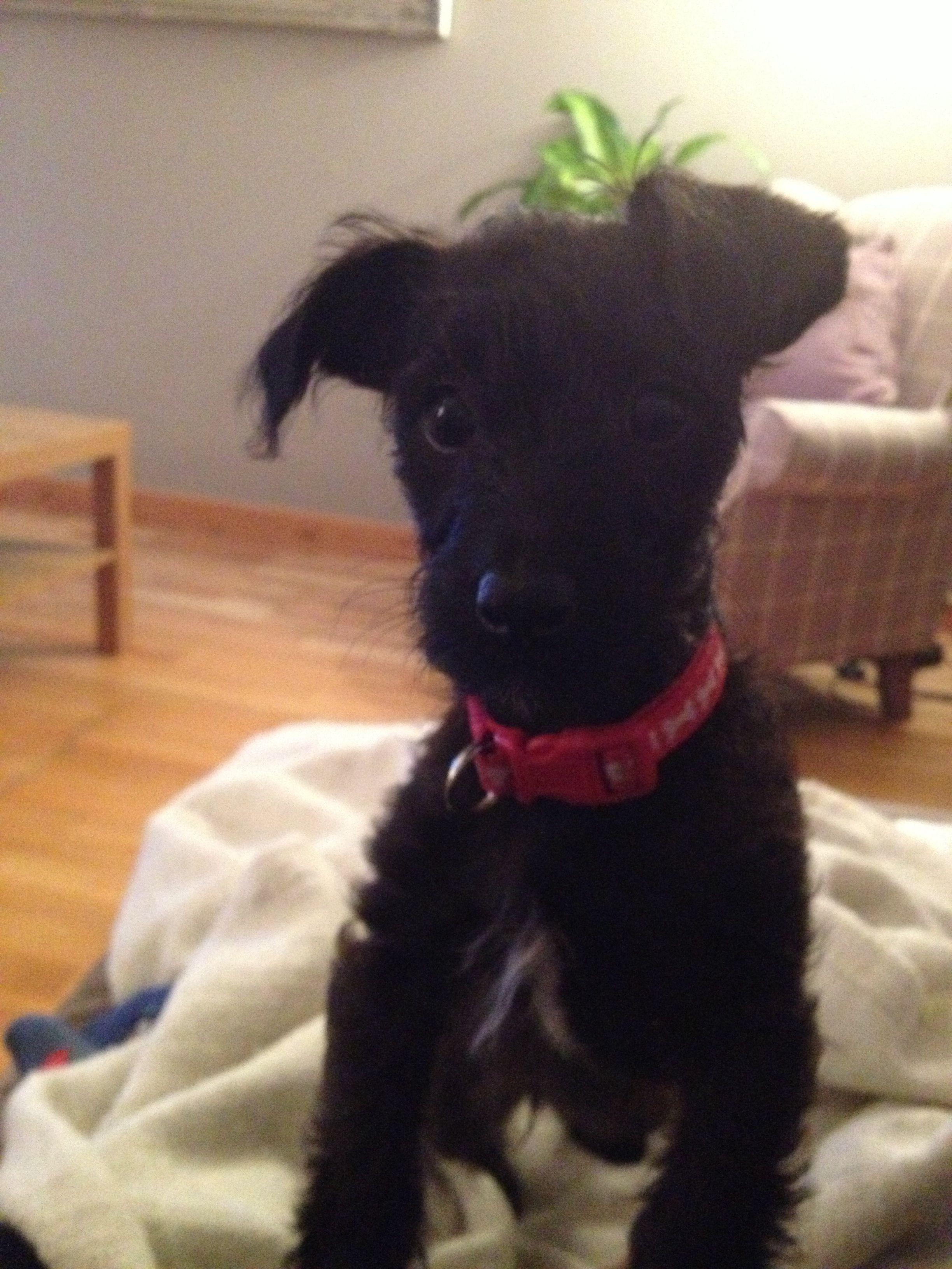 Cutest Jackapoo Ever Dog Clothes Diy Little Pets Poodle Mix
