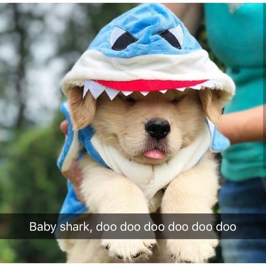 Baby Shark Dog! Cute baby animals, Cute dog pictures