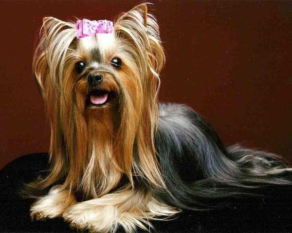 Fine Do Yorkies Shed A Lot Yorkshire Terrier Shedding Yorkiemag Hairstyle Inspiration Daily Dogsangcom
