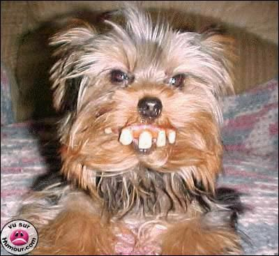 Pin By Olivia A On Yorkie Stuff Yorkie Dogs Funny Dogs