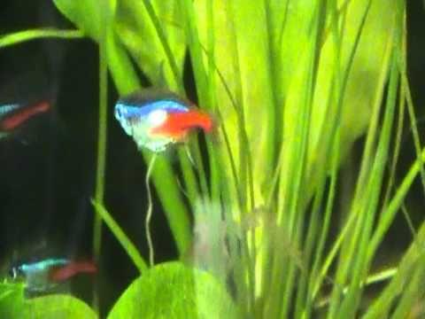 03 Pregnant Neon Tetra Neon Tetra Tetra Fish Neon Tetra Fish
