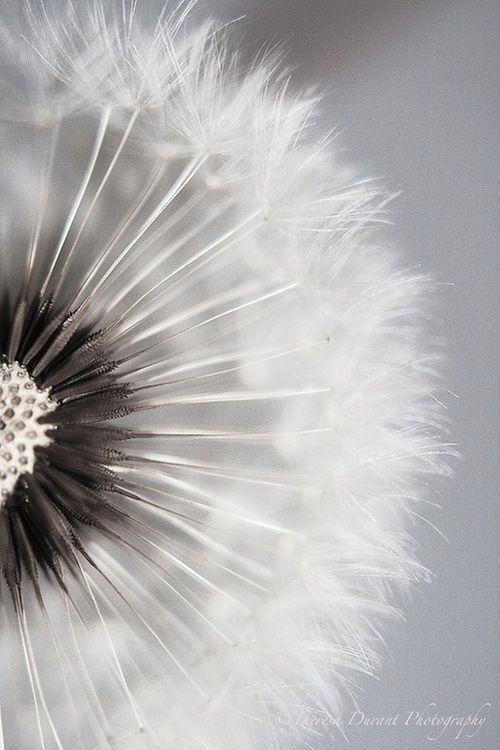 Kero I Am Dandelion White Dandelion White Photography Dandelion