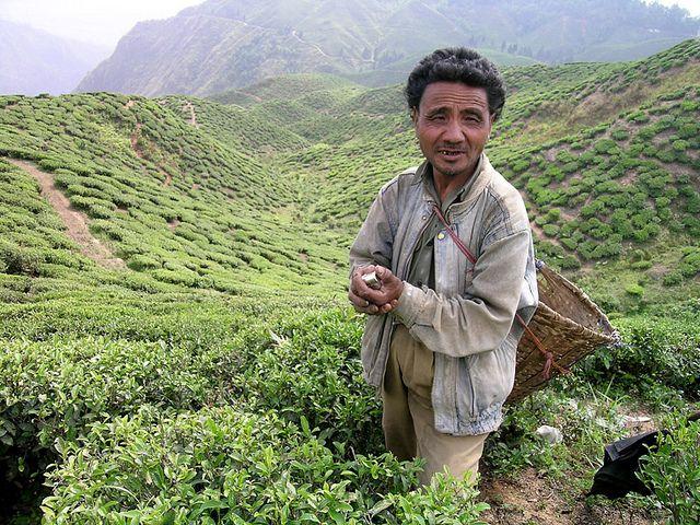 4aa238be19006387cc47ed85ad76885f - List Of Tea Gardens In Darjeeling