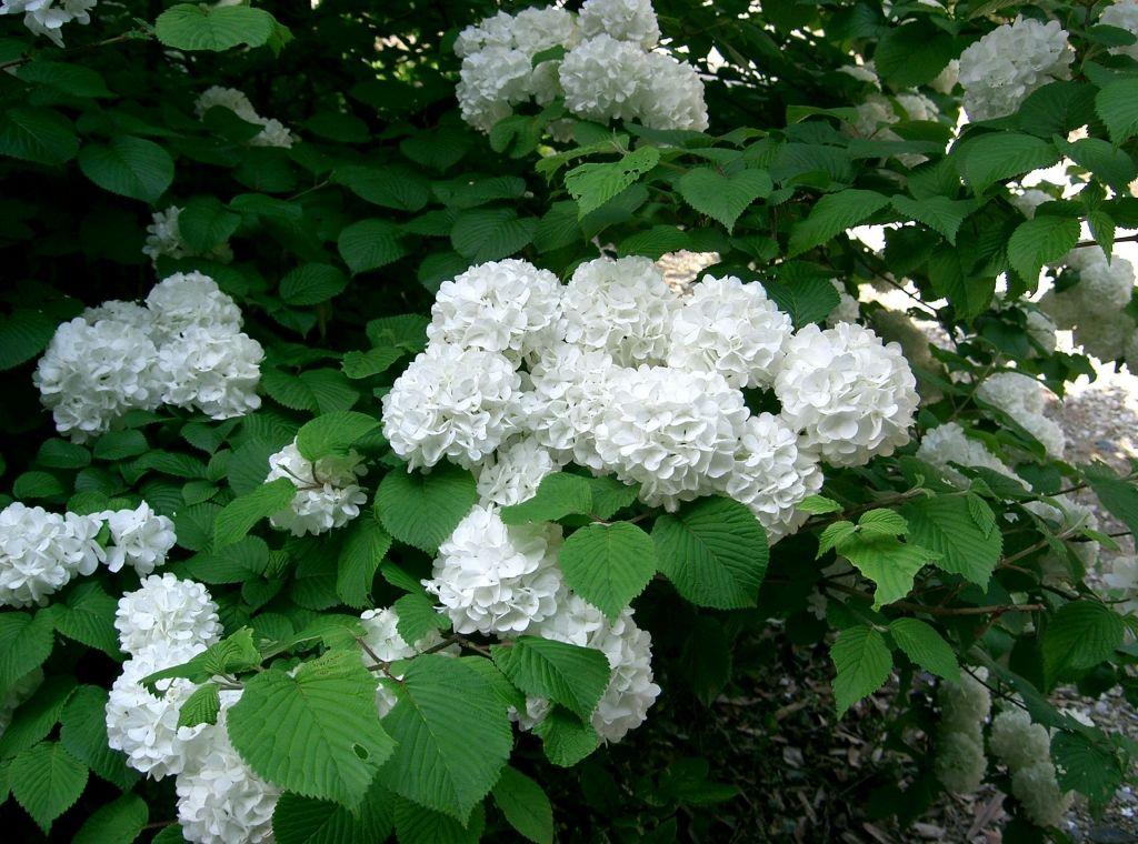 Viburnum Plicatum Snowball Viburnum Hydrangea Not Blooming Viburnum