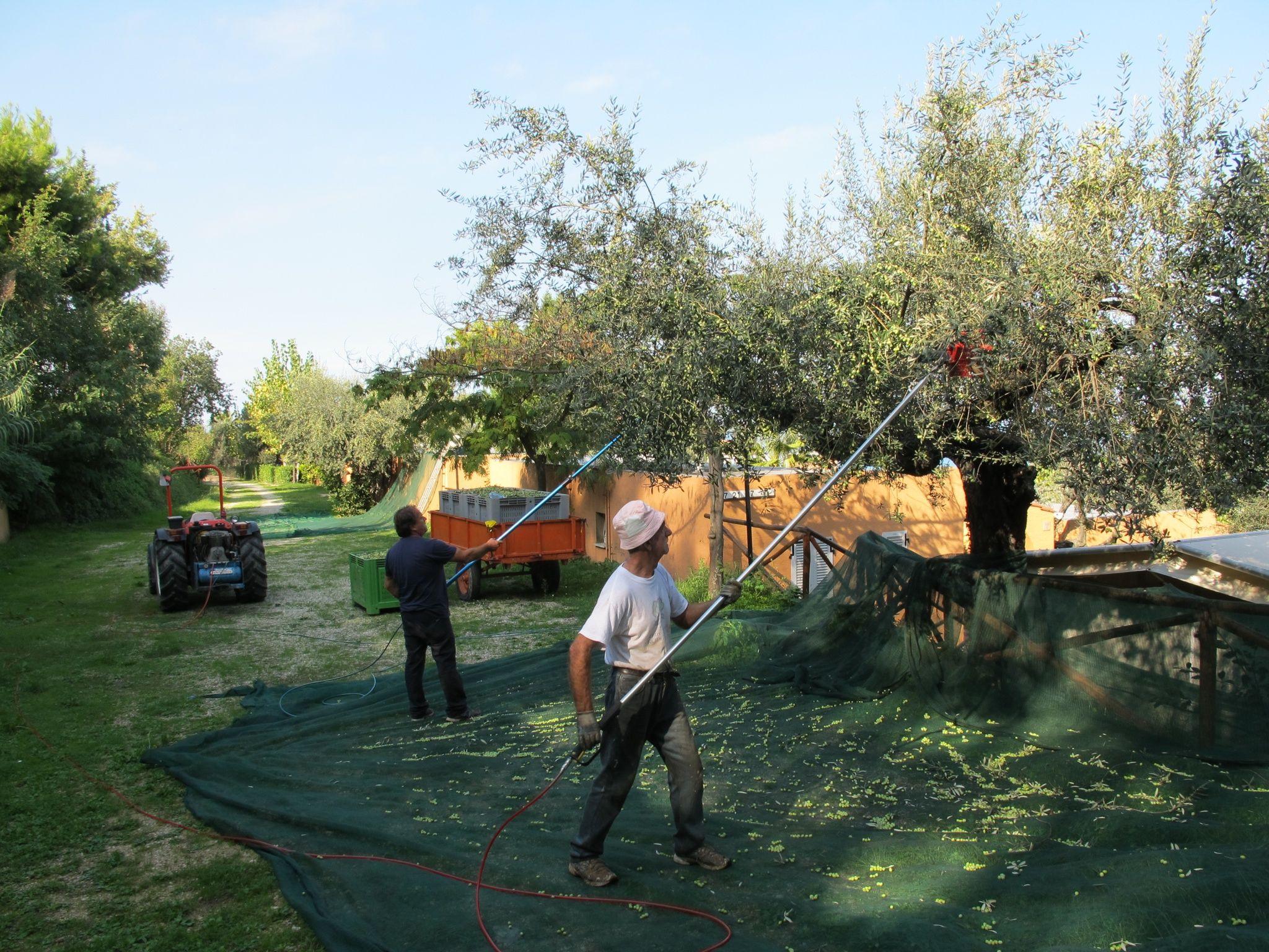 Europe Garden Olive Production | Europe Garden Olive Trees