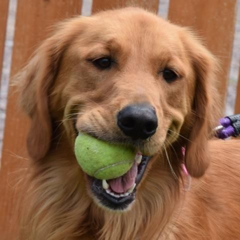 Adopt Darby 2 Yrs Adopted On Golden Retriever Rescue Golden Dog