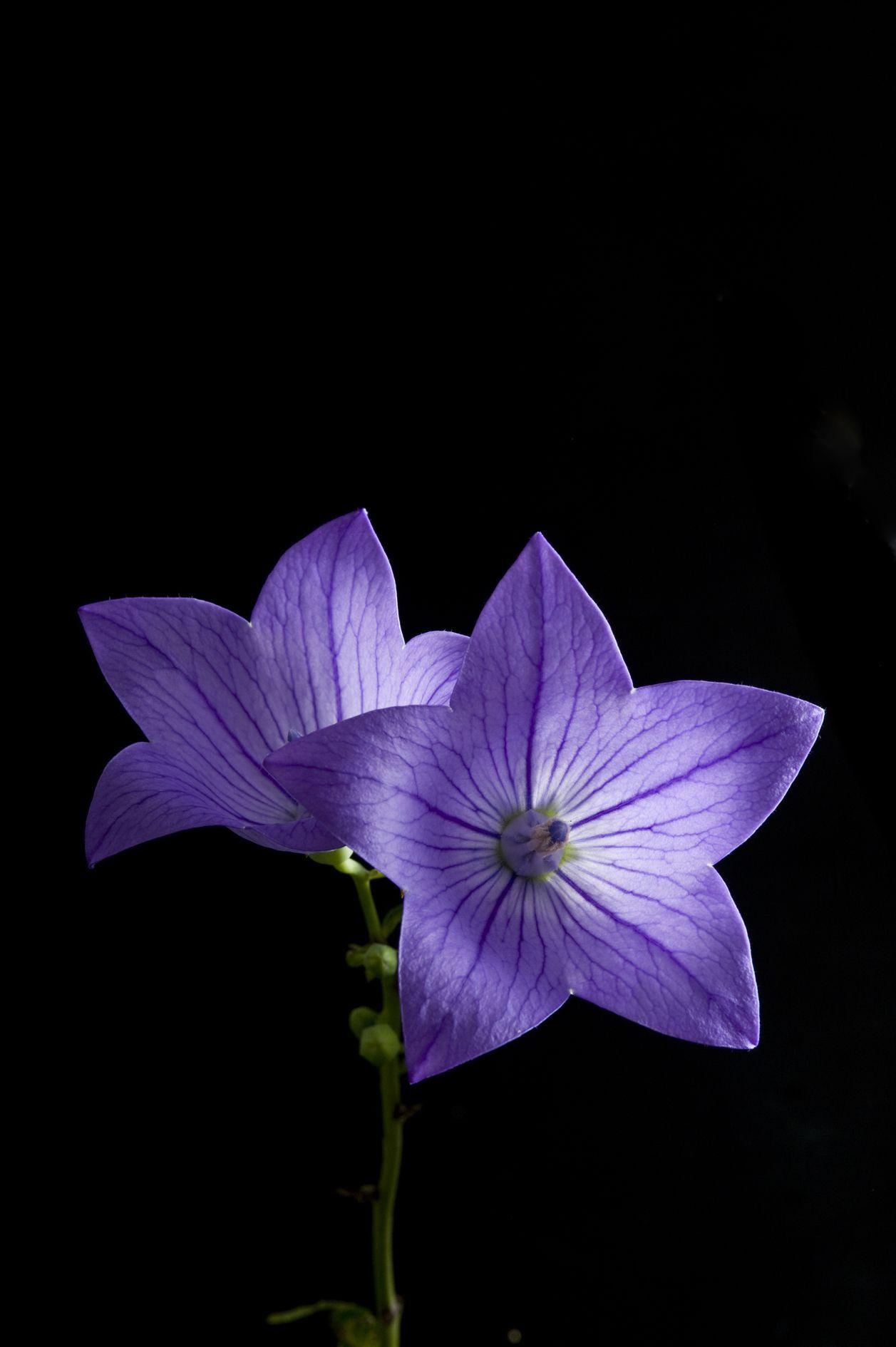 Bellflower Small Flower Tattoos Flower Guide Flower Wallpaper