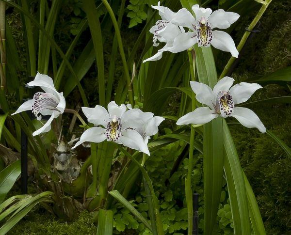 Orchids Cymbidium Insigne Ssp Seidenfadenii Orchids Orchidaceae Flowers