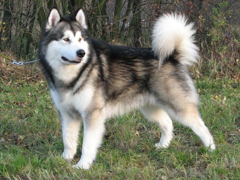 Kennels Malamute Dog Siberian Husky Dogs