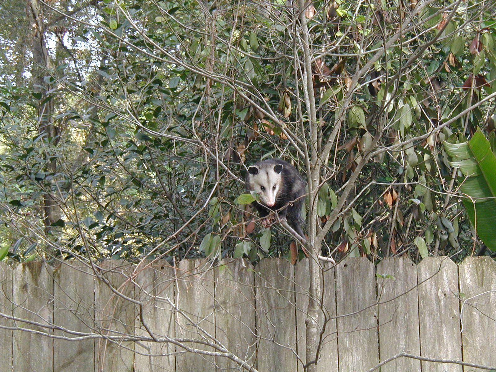 A possum in the back yard | Animals, Birds, Bald eagle