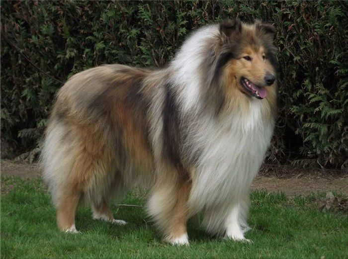 Collie Dog With The Rough Coat Sable And White With The Tri Factor