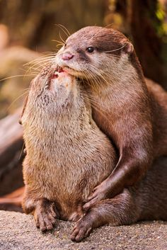 Affectionate Otters - August 10, 2011