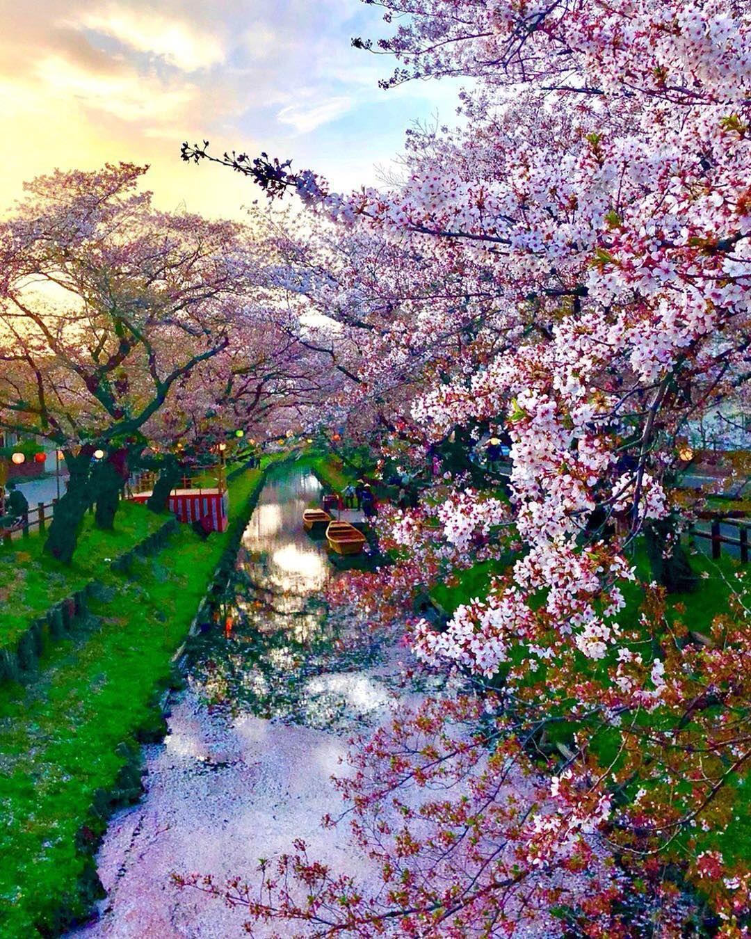 Cherry Blossom asiatico dating