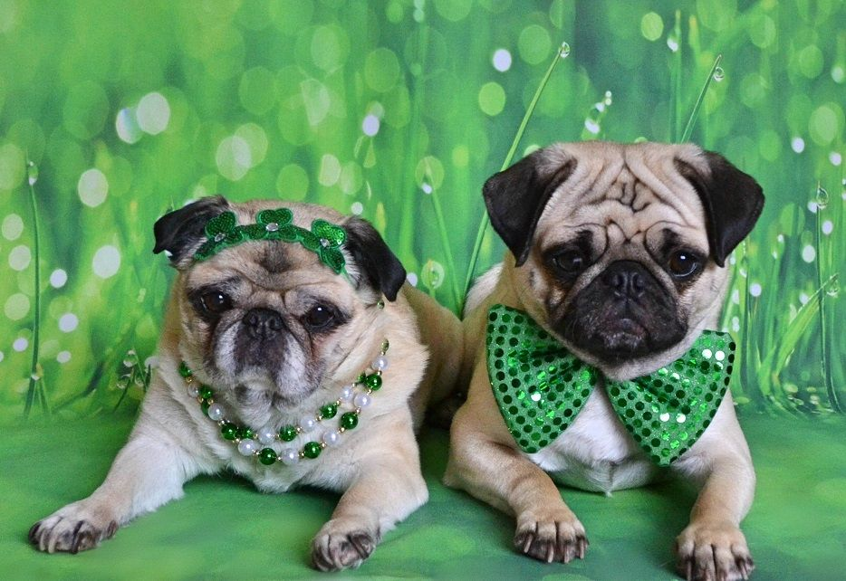 Bailey Puggins And Boo Lefou Wishing Everyone A Happy St