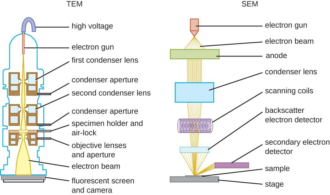 Figure 12 These Schematic Illustrations Compare The Components Of Transmission Electron Microscopes And S Microbiology Scanning Electron Microscope Microscopy