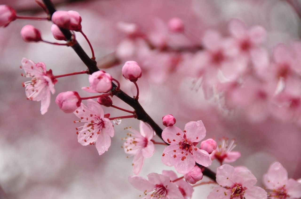 Cherry blossoms blossoms pinterest cherry blossoms and flowers