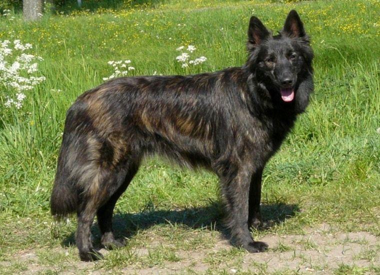 Hollandse Herder Hondenspullen Herdershond Mooie Honden