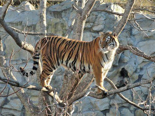 Tiger looking where to jump / Tigre mira dónde saltar - http://www.1pic4u.com/blog/2015/01/01/tiger-looking-where-to-jump-tigre-mira-dnde-saltar/