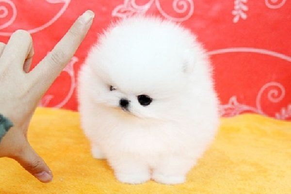 Toy Pomeranian Puppies For Sale In Indiana Zoe Fans Blog