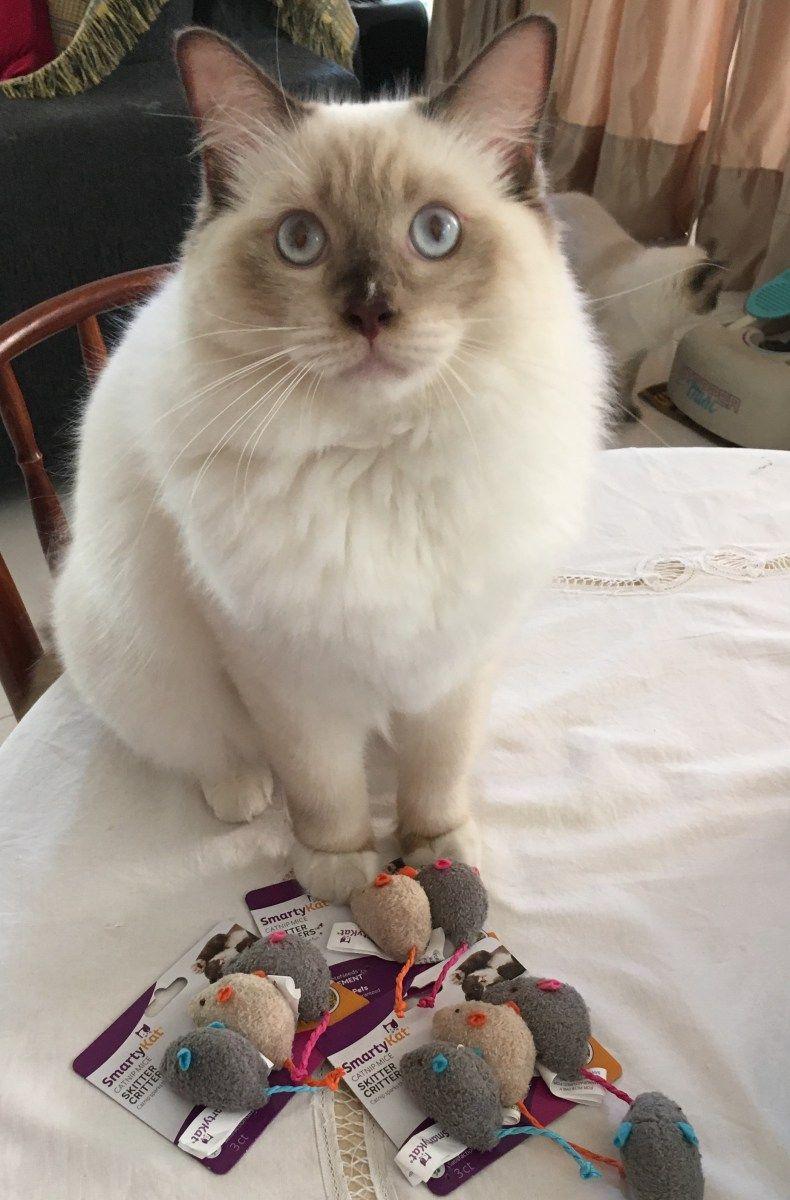 Snowdolls Tiffany Ragdoll Of The Week Ragdoll Cat Ragdoll Cat Behavior